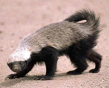 Honey_badger.jpg (350×282)
